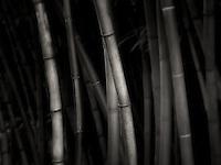 Bamboo. Oregon