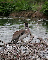 0309-0803  Brown Pelican, Pelecanus occidentalis © David Kuhn/Dwight Kuhn Photography