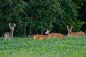 00274-305.02 White-tailed Deer Buck (DIGITAL) with large antlers in velvet and smaller bucks and does are in soybean plot. Late summer.  H3E1