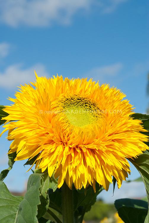Helianthus Sun King  double tall sunflower