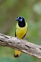 Calling adult Green Jay (Cyanocorax yncas) of the northern subspecies C. y. glaucescense. Hidalgo County, Texas. March.