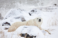 Polar Bear lifts its head from a nap as waves splash in the background