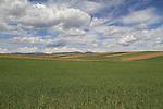 Winter wheat along the Front Range, Boulder, Colorado, USA.