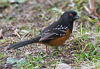 A spotted towhee looks for food at Reifel Bird Sanctuary.