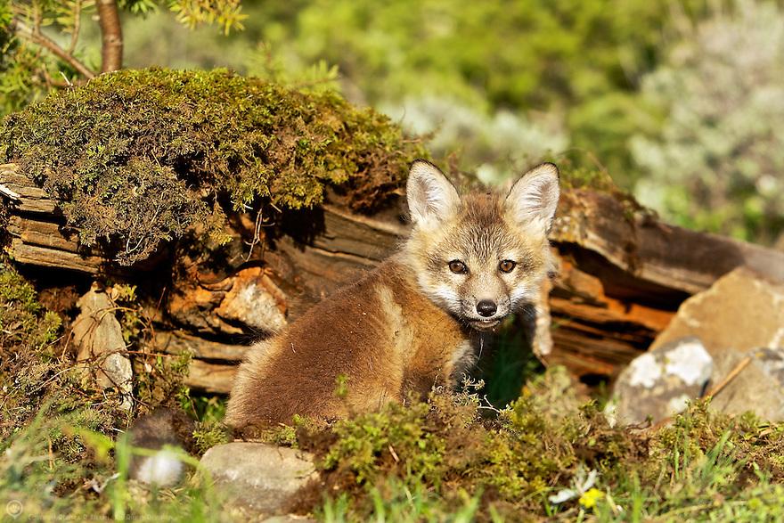 A young fox kit explores around his den
