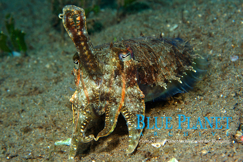 Reef cuttlefish, Sepia sp., Masaplod, Dumaguete, Negros Island, Philippines