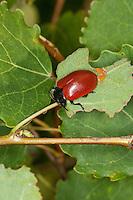 Pappelblatt-Käfer, Roter Pappelblattkäfer, Eiablage, Weibchen legt Eier, Ei, Chrysomela populi, Melasoma populi, Red poplar leaf-beetle, poplar leaf beetle, poplar beetle