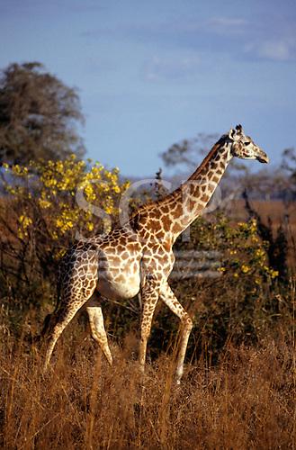 Mikumi Game Reserve, Tanzania. Pregnant giraffe with trees behind.