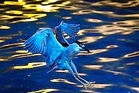 Animais. Aves. Soco ( Tigrisoma lineatum).  Foto de Silvio Dutra.