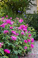 Pink flowering old Gallica shrub rose 'Tuscan Superb'  by garden path