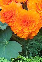 Begonia 'Sceptre' tuberous (orange frilled)