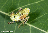 "1109-0806  Agallia Leafhopper Nymph, Agallia spp. ""Virginia"" © David Kuhn/Dwight Kuhn Photography."