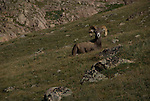 Bighorn sheep or mountain sheep (Ovis canadensis) ram on the alpine tundra above Lawn Lake in the Mummy Range, Rocky Mountain National Park, Colorado, USA.