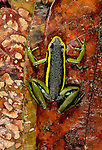 Poison arrow frog, Tambopata River region, Peru