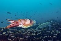 Broadclub Cuttlefish, Sepia latimanus, Komodo National Park, Lesser Sunda Islands, Indonesia, Pacific Ocean