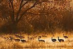 Sandhill Crane (Grus canadensis) flock wading through pond at sunrise, Bosque del Apache National Wildlife Refuge, New Mexico