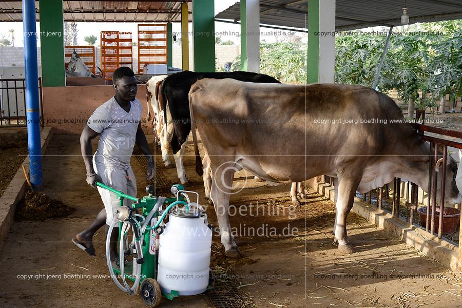 SENEGAL, Thies, village Koudiadiene, small dairy farm with milking machine for cows