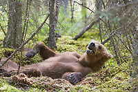 Brown bear lays in the moss of the forest floor along a trail in Katmai National Park, Alaska