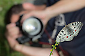 Apollo butterfly (Parnassius apollo) being photographed by wildlife photographer. Nordtirol, Austrian Alps, Austria, July.