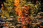 Reflection of maple and cottonwood trees on lily pads in small lake, King County, Washington.  Wonderfull background image.