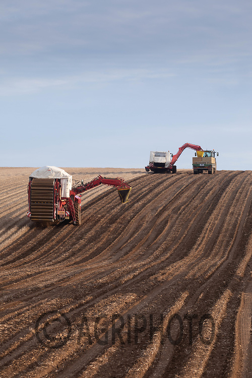 7.10.2020 Lifting seed potatoes on the Yorkshire Wolds<br /> ©Tim Scrivener Photographer 07850 303986<br />      ....Covering Agriculture In The
