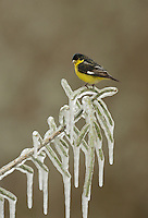 Lesser Goldfinch (Carduelis psaltria), adult male perched on icy branch of Christmas cholla (Cylindropuntia leptocaulis), Hill Country, Texas, USA