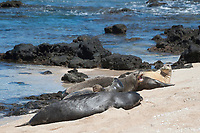 Hawaiian monk seals, Neomonachus schauinslandi, Critically Endangered endemic species; a 20+-year-old male (R306) guarding a 4-year-old female (RB16), right rear, barks at an encroaching 5 year old male (RO36), while another female (R318) rests in the foreground; west end of Molokai, Hawaii