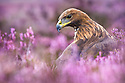 Golden Eagle male {Aquila chrysaetos} in purple heather. Captive, UK.