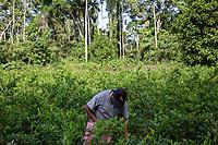 """A coca grower known as """"cocalero"""", harvests coca leaves in a """"cato"""", a coca plot which measurement is 40x40 square meters, in the Chipiriri vicinity, Chapare region, Bolivia. November 30, 2019.<br /> Un cultivateur de coca connu sous le nom de """"cocalero"""", récolte les feuilles de coca dans un """"cato"""", une parcelle de coca de 40x40 mètres carrés, dans les environs de Chipiriri, région du Chapare, Bolivie. 30 novembre 2019."""