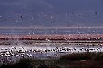 Large Flamingo flock in Africa.