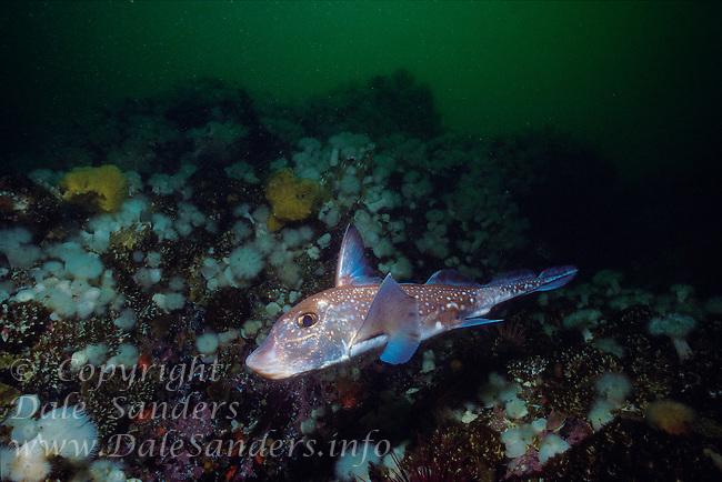 Ratfish (Hydrolagus collie) or Chimaera, Queen Charlotte Strait, British Columbia, Canada.