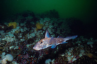 Ratfish (Hydrolagus collie) or Chimaera, Queen Charlotte Strait, British Columbia, Canada.