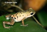 FR24-532z   Strawberry Poison Dart Frog,.Dendrobates pumilio