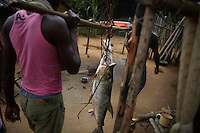 A Goliath Tigerfish, slung from a pole which is carried on the shoulders of two men, is taken to Balila village after being caught in a bamboo basket in the Lindi River at Balila Falls.
