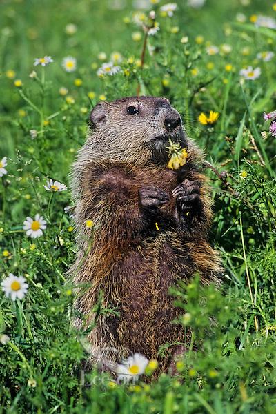 Woodchuck or groundhog (Marmota monax) eating dandelions