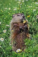 Woodchuck or groundhog (Marmota monax) eating dandelions