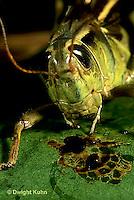 """OR04-010c   Grasshopper - spitting defense juice, short horned or """"true"""" grasshopper, two-striped grasshopper - Melanoplus bioittatus"""