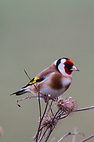 Stieglitz, Distelfink, frisst an Samenständen von Klette, Carduelis carduelis, European goldfinch, goldfinch, Le Chardonneret élégant