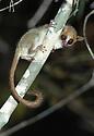 Madame Berthe's mouse lemur (Microcebus berthae) at night. Kirindy forest, western Madagascar. (world's smallest primate)
