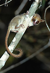 Madame Berthe's mouse lemur (Microcebus berthae) at night. Kirindy forest, western Madagascar. (world's smallest primate)