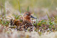 Adult female Spoon-billed Sandpiper brooding newly hatched chicks on the nest immediately after an incubation exchange. The male attends to the nest during the day, the female at night. Chukotka, Russia. July.