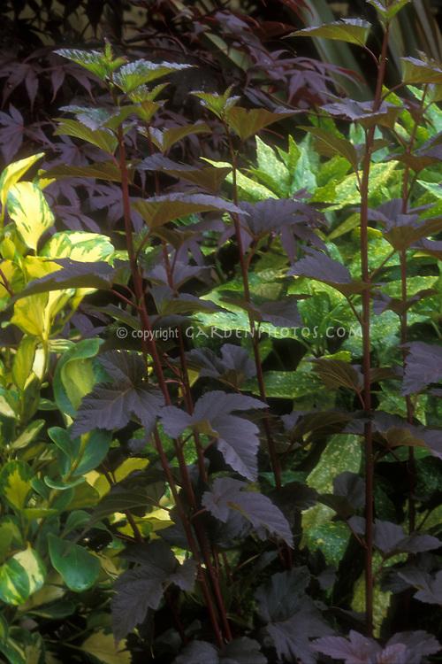 Physocarpus opulifolius 'Diablo' black leaves against gold foliage