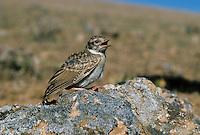 Kurzzehenlerche, Kurzzehen-Lerche, Calandrella brachydactyla, short-toed lark