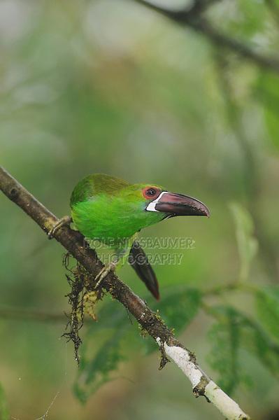Crimson-rumped Toucanet (Aulacorhynchus haematopygus), adult perched,Mindo, Ecuador, Andes, South America