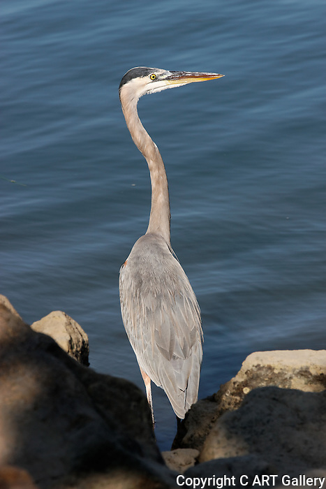 Great Blue Heron looking for fish on Balboa Island, CA.