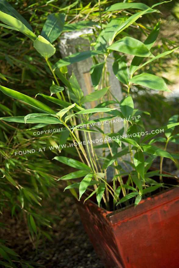 """The large-leafed Palmata bamboo, Sasa palmata nebulosa, is a clump-forming, vigorous runner of a bamboo, and is best contained in a pot above ground.  Its large, dramatic leaves may each reach 15"""" on culms, or stalks, up to eight feet tall.  Palmata prefers partial to deep shade and is drought tolerant when established"""