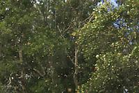 Swarming is the bee colonies' means of reproduction. In spring, the colony raises the young queens in the royal cells. The present queen leaves the hive with half of the colony to found a new society. In Australia, natural swarms are very common because the species is particularly well-adapted to the country.///L'essaimage est le moyen de reproduction des colonies des abeilles. Au printemps, la colonie élève des jeunes reines dans des cellules royales. La reine présente quitte la ruche avec la moitié de la colonie pour fonder une nouvelle cité. En Australie, les essaims naturels sont très nombreux car l'espère c'est particulièrement bien adaptée au pays.