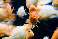 Midas cichlid, Amphilophus citrinellus ( c )