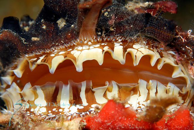 eyes of the Atlantic Thorny Oyster, Spondylus americanus