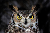 Great Horned Owl (Bubo virginianus), close-up (in captivity)